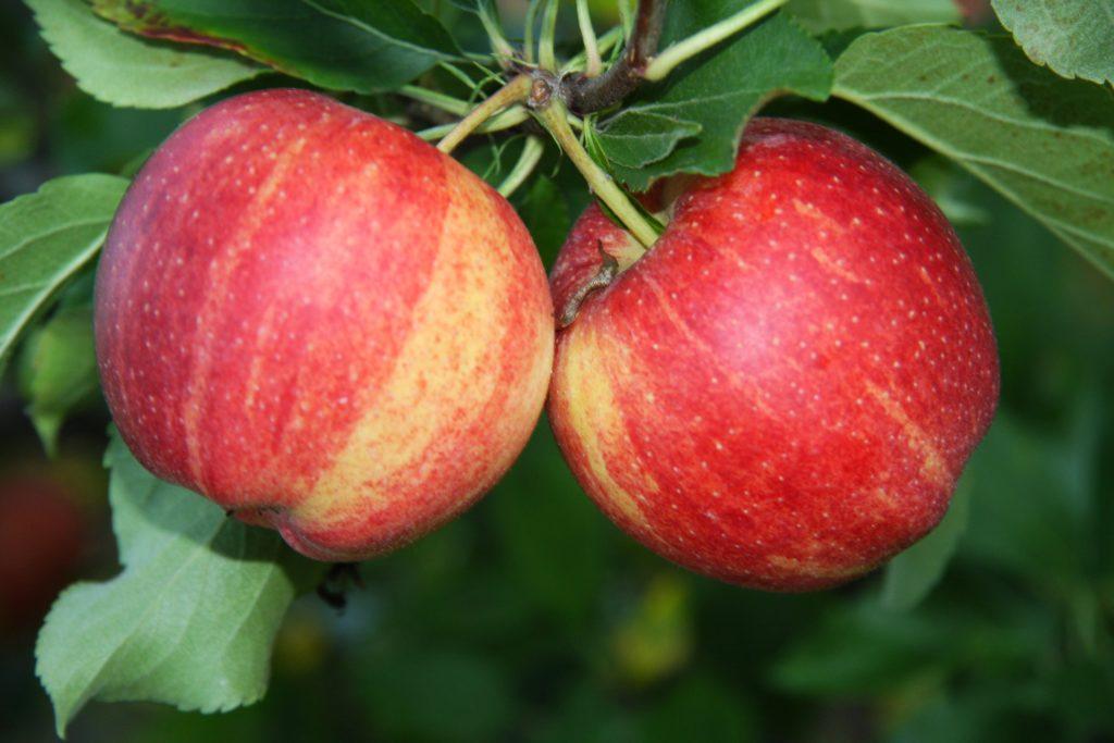 jabłoń gala