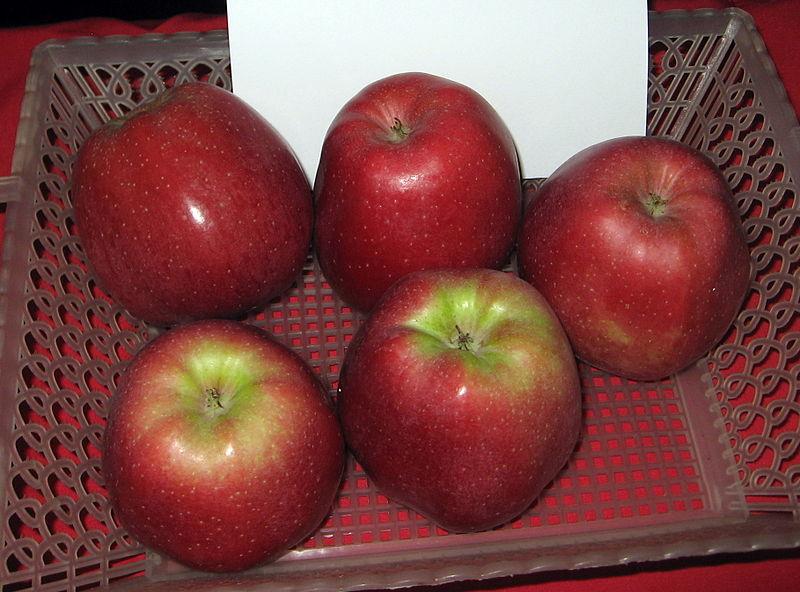 Gloster jabłoń