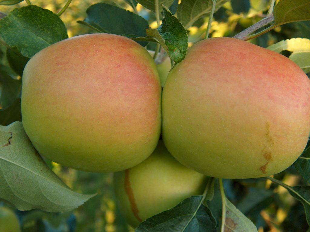 jabłoń goldstar