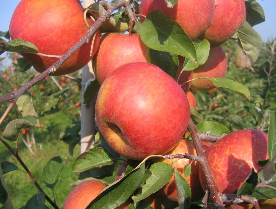 Rubin jabłoń
