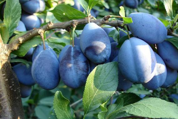 Śliwa Stanley Prunus domestica