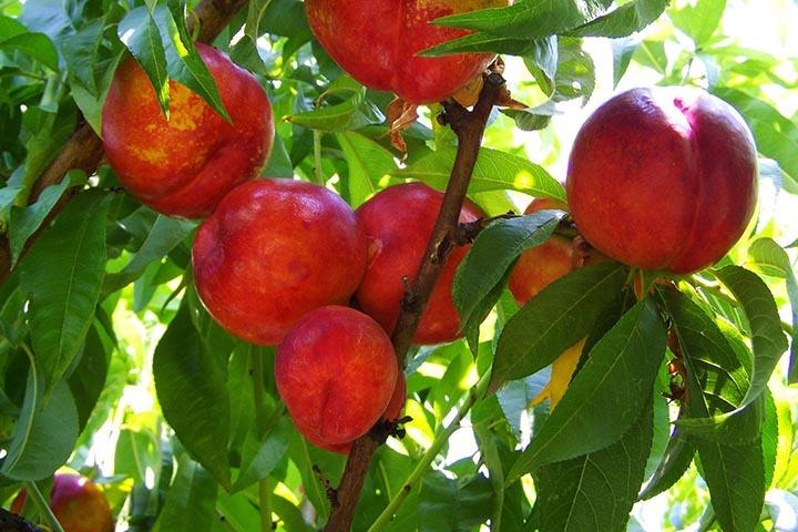 Brzoskwinia Harnaś Prunus persica