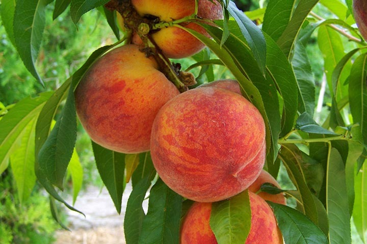 Brzoskwinia Royalvee Prunus persica