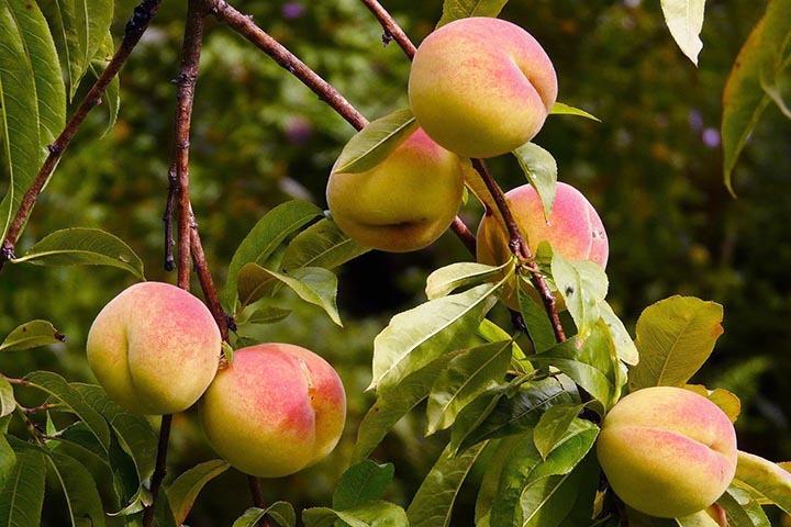 Brzoskwinia Velvet Prunus persica