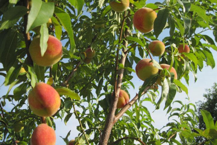 Brzoskwinia zwyczajna Reliance Prunus persica