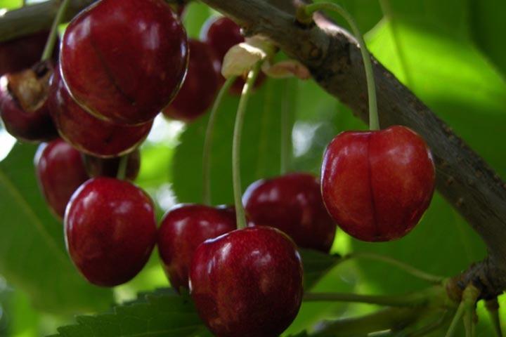 Czereśnia Kordia Prunus avium