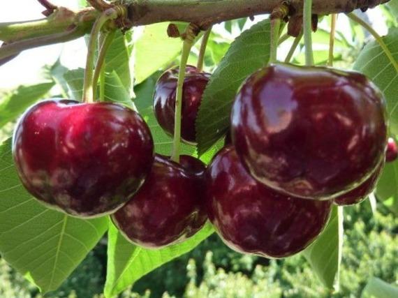 Czereśnia Prunus avium