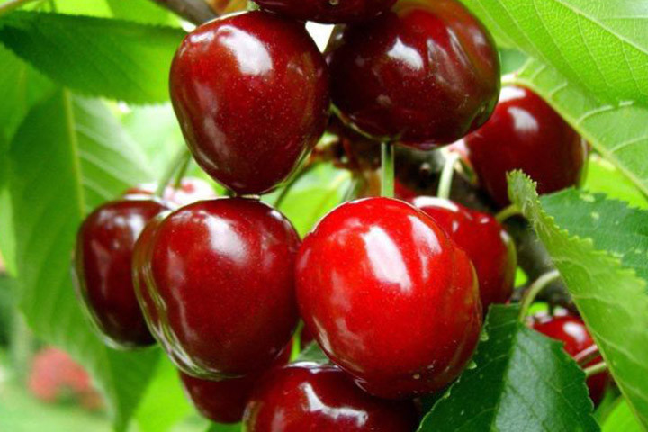 Czereśnia Regina Prunus avium