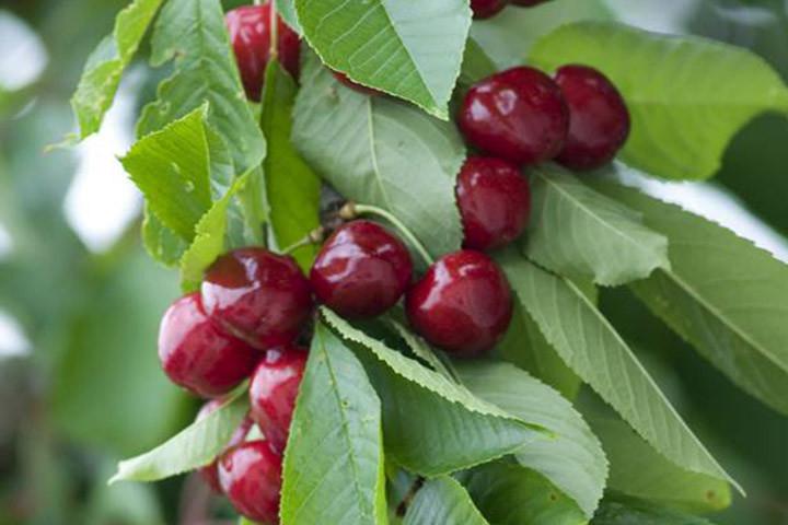 Czereśnia kolumnowa Sylvia Prunus avium