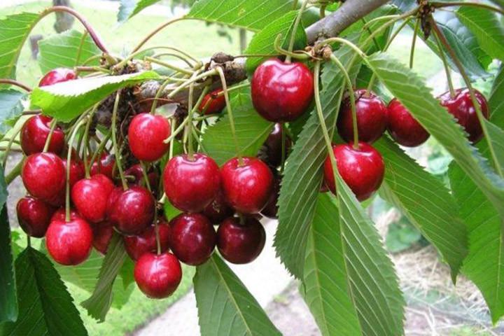 Czereśnia ptasia Lapins Prunus avium