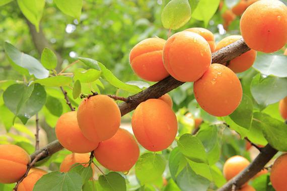Morela Goldrich Sungiant Prunus armeniaca