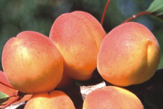 Morela Harcot Prunus armeniaca