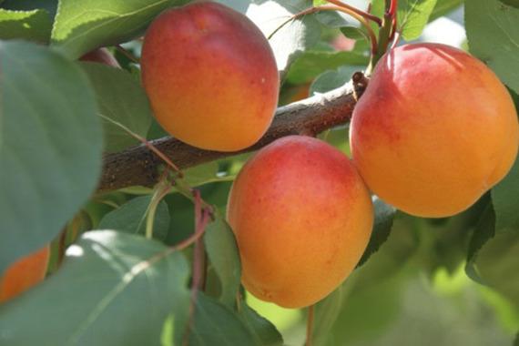 Morela Hargrand Prunus armeniaca