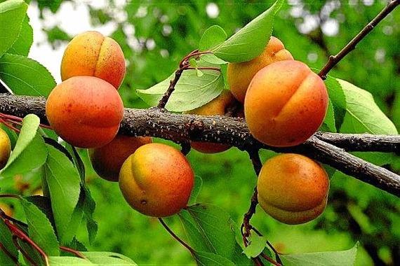 Morela Somo Prunus armeniaca