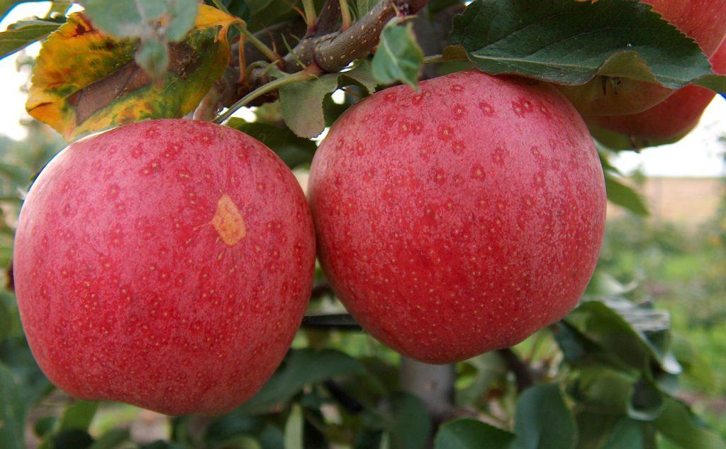 przycinanie jabloni